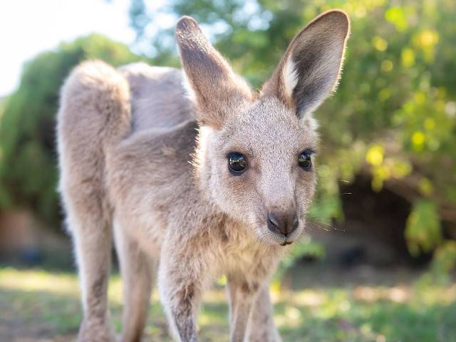 Jerry the Kangaroo Recovering After Being Shot