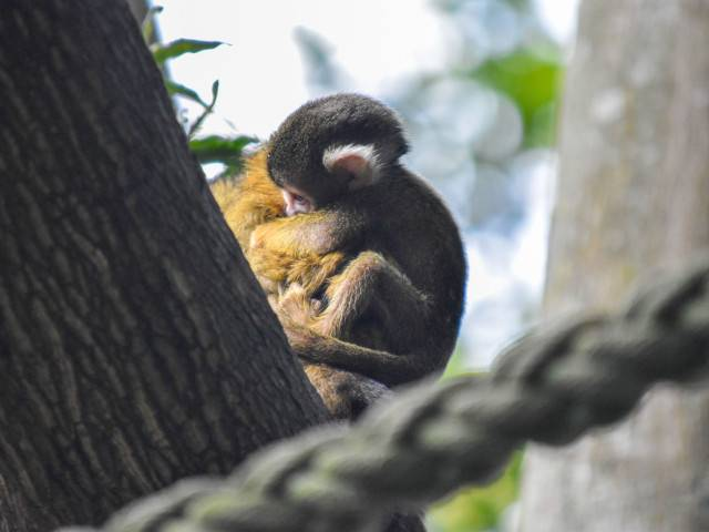 Squirrel Monkey baby boom