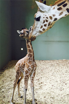 Australia Zoo Welcomes Baby Giraffe