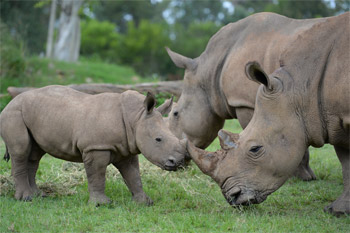 Australia Zoo's Baby Rhino is on Display