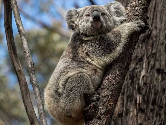 Koalas Released Back Into The Wild