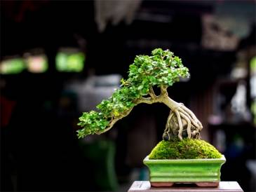 How To Grow A Bonsai
